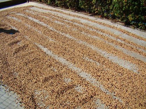 09.- Secando las semillas