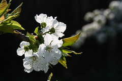 Barbarapev (anuwintschalek) Tags: tree garden cherry austria spring april 28135is garten 2009 niedersterreich frhling kodu blooming aed kirsche kevad naturesfinest wienerneustadt kirschblten kirss ied kirsiied canoneos1000d