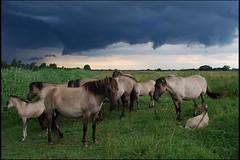 011 (Bargais) Tags: wild horse latvia latvija jelgava zirgi pilssala savvaļa