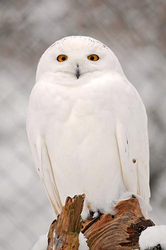 フリー画像| 動物写真| 鳥類| 猛禽類| 梟/フクロウ| シロフクロウ|      フリー素材|