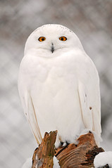 Winter snowy owl