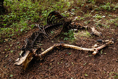 20100107 Deer Skeleton