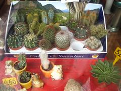 cactus in vetrina