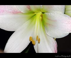 ({Leythiana}) Tags: flowers flower macro nature closeup natura fiori fiore amarillys effe pentaxk20 leythiana