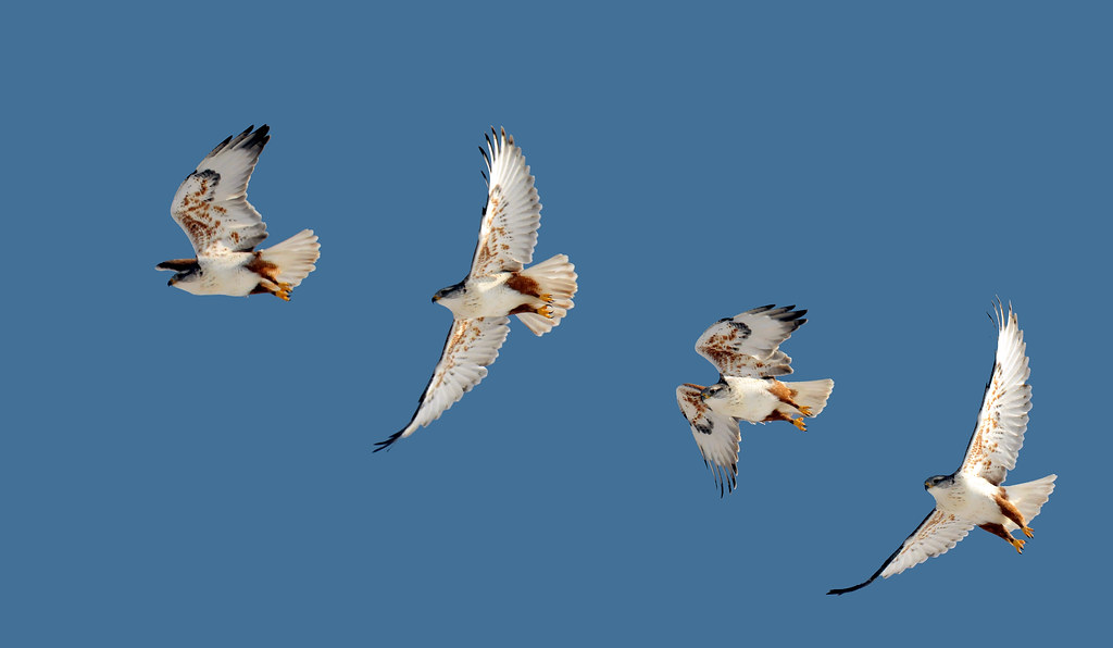 ferruginous hawk near palmyra last composite I took
