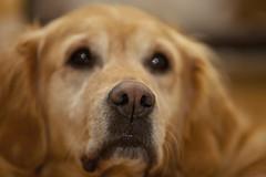 Bonnie's Nose (menickstephensorg) Tags: dog labrador bonnie canonef70200mmf28lisusm richardsarah canoneos5dmk2