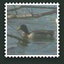 Duck Stamp (mallard)