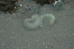Ruby Beach Spring 7 (WhoSay) Tags: nikond70 tide olympicpeninsula anemone shore lowtide washingtonstate rubybeach tidepool seaanemone kalaloch