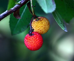 Strawberry Tree (rapt_in_roses) Tags: tree fruit strawberrytree top20foodpix amazingbokehgroup bokehandbeyond artnetcontemporaryartists oneeyeseestheotherfeels