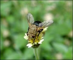 Fly (José Bernardo) Tags: macro verde nature fly ecuador mosca insecto diptera manabi diptero manabí bidenspilosa flickrsbest anawesomeshot
