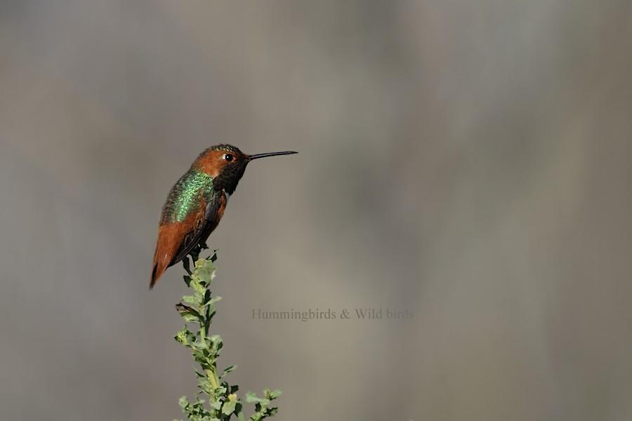 Allen's Hummingbird 01101-111