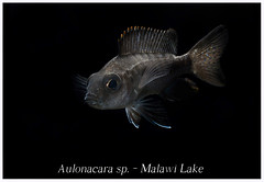 Aulonacara_sp_800_01 (Bruno Cortada) Tags: malawi marino mbunas cclidos sudafricanos tanganyica