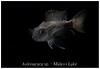 Aulonacara_sp_800_01 (Bruno Cortada) Tags: malawi marino mbunas cíclidos sudafricanos tanganyica