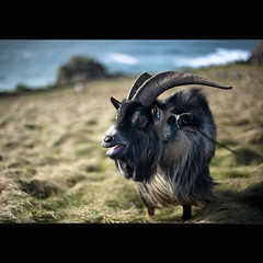 Lands End | Mental Goat (Reed Ingram Weir) Tags: 50mm coast nikon 14 goat windy end lands mad mental fastlens d700