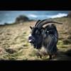 Lands End   Mental Goat (Reed Ingram Weir) Tags: 50mm coast nikon 14 goat windy end lands mad mental fastlens d700