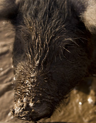 A Mucky Snout (Alf's Work) Tags: animal yard canon hair nose pig bath mud farm dirty dirt cedar 7d swine snout