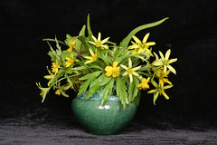 Yellow Star-of-Bethlehem & Kingcups (panga_ua) Tags: flowers stilllife black green ceramics availablelight background vase ranunculaceae springflowers liliaceae marshmarigold calthapalustris kingcup buttercupfamily gagea yellowstarofbethlehem gagealutea