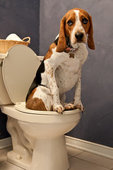 257/365 Do you mind? (Paguma / Darren) Tags: loo dog bathroom seat hound toilet floyd washroom fgr tamronspaf1750mmf28xrdiiildasphericalif thelittledoglaughed dogsittingontoilet f64g17r2win
