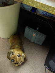 Lily under my desk (f l a m i n g o) Tags: dog fun group creative dachshund join friday weekday underthetable