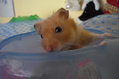 Hello:) (springhawk) Tags: pet animal rodent hamster keek matsek