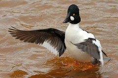 Goldeneye Duck (AMKs_Photos) Tags: bird nature birds animal canon river photography eos scotland duck wildlife aberdeen dee goldeneye amk bucephala clangula specanimal 450d amksphotos