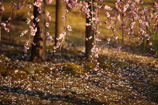 散りゆく梅花