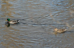 ducks 1 and 2 (bulletproofsoul67) Tags: nature earlyspring latewinter