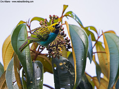 Gilt-edged Tanager - Tangara cyanoventris