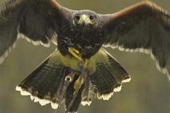 Harris Hawk In flight (Scooby ...) Tags: art nature beautiful beauty amazing nice perfect colours eagle feathers birdsofprey lense optics d90 nikond90 nikon70300mmvr birdsofpreynikon70300mmvr nicecolurs