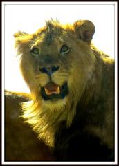 Le Roi (cmphotoroll) Tags: sandiego lion mane worldwidewandering nikonp90