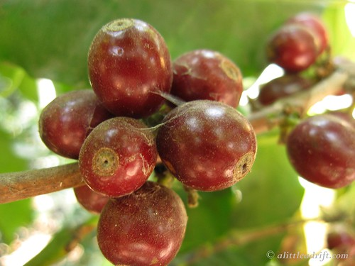 Coffee Plantation Tour (17)