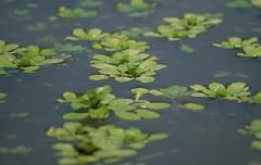 Estanque (myrmardan) Tags: santiago water mexico pond agua aqua eau wasser mexique estanque sui mexiko mizu 水 messico etang 墨西哥 nuevoleón メキシコ mekishiko みず