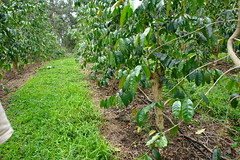 15 glyphosate herbicide injury coffee Coffea a...