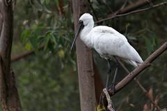 Royal Spoonbill Platalea regia  2014-03-15 (IMG_0833) (ajhaysom) Tags: australia melbourne melbournezoo australianbirds royalspoonbill platalearegia