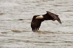 Conowingo-IMG_9518-28-Oct-2009 (Bob Gilley) Tags: dam bald eagles conowingo
