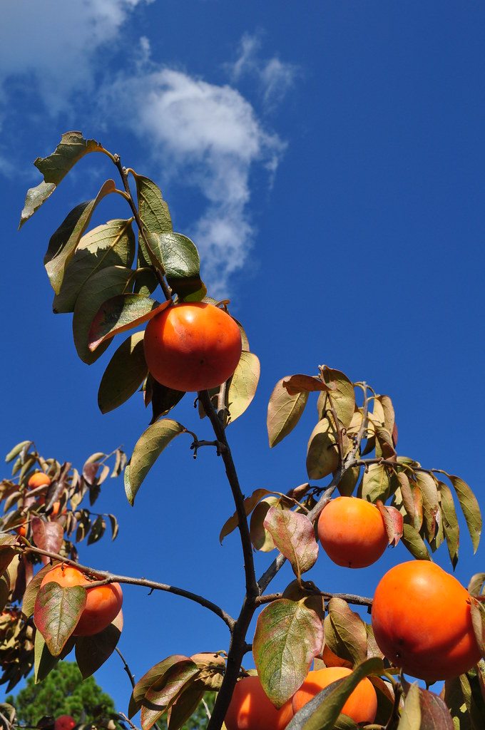 Asian Persimmon (Diospyros kaki) 66