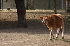 Nicholas running over to meet the new cow