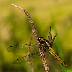 The Green Dragonfly (Alex Stoen) Tags: black macro green animal yellow canon geotagged wings flickr dragonfly vietnam libelula sapa libellule indochine indochina fav10 canon5dmarkii alexstoen alexstoenphotography catcatvillagetosansahovillage