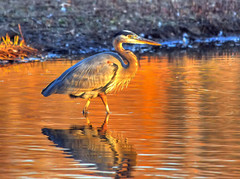 Leaving The Island (ozoni11) Tags: sunset bird heron nature birds animal animals interestingness nikon explore greatblueheron goldenhour herons columbiamaryland 460 d300 greatblueherons wildelake interestingness460 i500 michaeloberman explore460 ozoni11