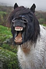 [フリー画像] [動物写真] [哺乳類] [馬/ウマ] [歌う]       [フリー素材]