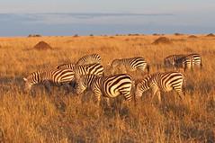 Late day zebras (Nicholls1) Tags: africa kenya zebra masaimara