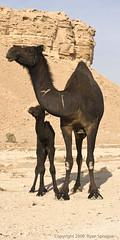 (D3 Photography) Tags: world wild baby nikon desert mother saudi arabia camels riyadh 2009 f28 d3 70200mm ëdge