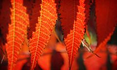 Sumac Leaves (LooknFeel) Tags: autumn fall colors leaves sumac nikkor1855mm nikond60 japanopticswideangleadapterwithmacro dsc0017n