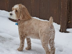 Harvey the Cockapoo ~ Snow Covered Behind (Angie Naron) Tags: snow mansbestfriend doginsnow cockapoo spoodle womansbestfriend caninecompanion angienaron harveythecockapoo photobyangienaron