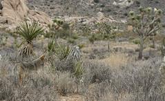 Desert Coyote or Mearns Coyote - Canis latrans mearnsi (Lynette MT) Tags: coyote january southerncalifornia mojavedesert joshuatreenationalpark mearnscoyote canislatransmearnsi desertcoyote 011510 taxonomy:trinomial=canislatransmearnsi