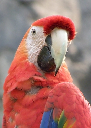 "Scarlet Macaw - 1st Place ""Student Category"" - 2009 Buffalo Zoo Photo Contest"