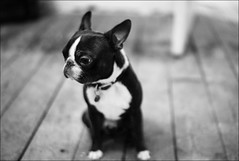 wee funny looking black and white dog on out of focus black and white floorboards (gorbot.) Tags: blackandwhite bw dog max bostonterrier raw glasgow explore frontpage dng iso1250 mmount leicam8 digitalrangefinder voigtlander35mmnoktonf12