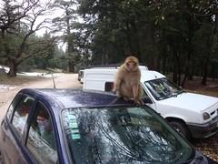 Cedre Gouraud, Parque nacional de Ifrane, Marrocos, Fevereiro 2010 (Samuel Santos) Tags: parque natureza vida nacional marrocos selvagem macacos cedro cedre ifrane gouraud