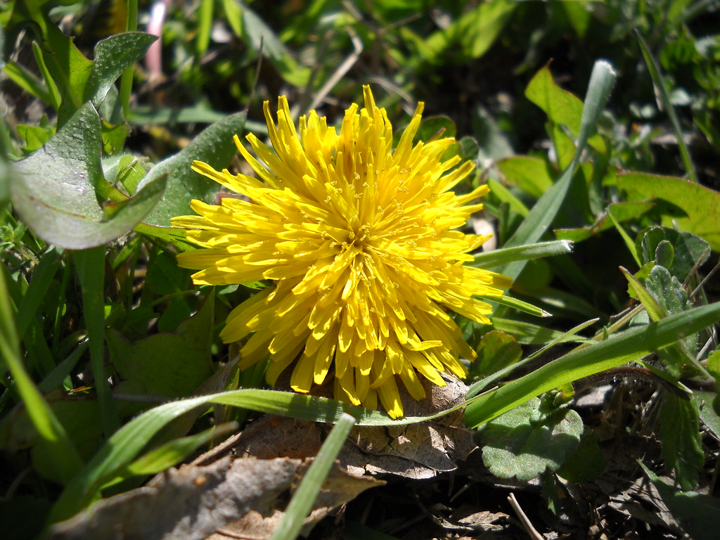 From snow in Nashville, to sunshine and 60s in Texas, dandelions give a beautiful pop of color in a deep green field of thick grass.