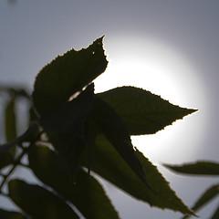 Leaves Against The Sun (pulkitsinha) Tags: sun india leaves garden vizag visakhapatnam ukkunagaram pulkitsinha